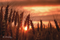 Kornfeld im Abendlicht / Cornfield in the evening light (Claudia Bacher Photography) Tags: sunset schweiz switzerland corn sonnenuntergang suisse eveningsun korn kornfeld abendlicht fujixe2 cornlield