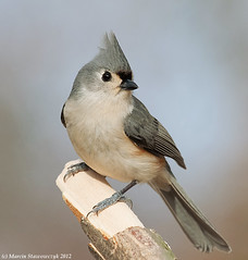 Posing titmouse (v4vodka) Tags: newyork bird nature animal wildlife birding longisland titmouse birdwatching songbird tuftedtitmouse baeolophusbicolor sikoradwubarwna elizabethmortonwidliferefugemortonsanctuary