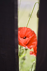 Window of Opportunity (DapperGentMike) Tags: poppy bumble bee flying pollun red colour outdoors wood caught captured
