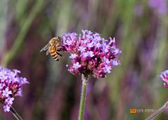 Da fiore in fiore (Luca Querzoli Fotografo alias LQ Photographer) Tags: lucaquerzolifotografia lucaquerzolifotografo lucaquerzoliphotographer mac macro animale animali ape canon lq