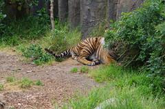 San Francisco Zoo 398 (Michael Fraley) Tags: sumatrantiger