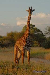 Giraff&LogoWEB
