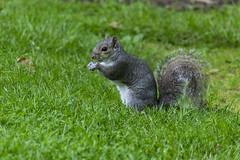 Écureuil dans le Jardin botanique d'Édimbourg