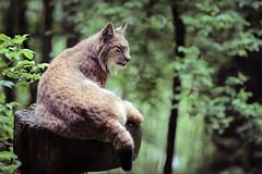 Lynx (Markus Moning) Tags: park nature animal canon eos austria feldkirch sterreich mark iii natur 5d 70200 lynx tier wildpark moning oesterreich vorarlberg luchs at markusmoning ardetzenberg