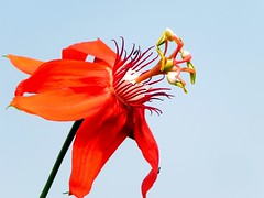 Red Passionflower (Barakat's Photography) Tags: passiflora