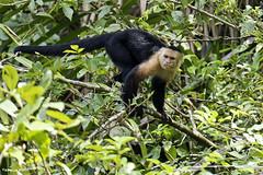 Mono CaraBlanca - White-headed capuchin (pniselba) Tags: rio river monkey mono costarica selva jungle tortuguero capuchin parquenacional monocarablanca carablanca whiteheaded capuchino cebuscapucinus whiteheadedcapuchin parquenacionaltortuguero