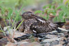 Querebebe (Chordeiles gundlachii) - Antillean Nighthawk (Dax M. Roman E.) Tags: querebebe chordeilesgundlachii antilleannighthawk nighthawk daxroman republicadominicana lomaslindas anidamiento