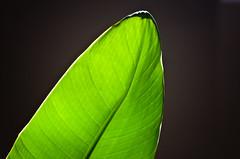 Palm Leaf in the Shadow (Orbmiser) Tags: plant oregon portland leaf nikon palm indoors summmer d90 55200vr