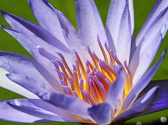 Morning Light Within (LotusMoon Photography) Tags: light flower macro nature floral petals waterlily purple outdoor lavender illuminated luminous annasheradon