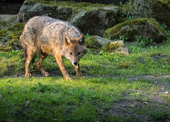 Golden jackal 2016-04-14-0499 (bzd1) Tags: animals dogs goudjakhals roofdieren jakhals animal mammal carnivore canidae canis burgerszoo goldenjackal canisaureus nature