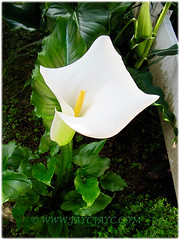 Zantedeschia aethiopica (jayjayc) Tags: flowers malaysia kualalumpur callalily arumlily zantedeschiaaethiopica tropicalgarden trumpetlily commonarumlily jaycjayc