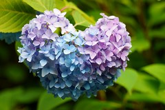 Love (nobuflickr) Tags: hydrangea   hydrangeamacrophylla awesomeblossoms  20160615dsc03114