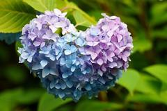 Love (nobuflickr) Tags: hydrangea 紫陽花 あじさい hydrangeamacrophylla awesomeblossoms アジサイ科アジサイ属 20160615dsc03114