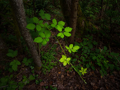Shades of Green (iPhilFlash) Tags: green leaves vancouver canada forest rainforest coquitlam britishcolumbia ca