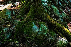 Mossy Roots (Ansel Adams J.R) Tags: mossy moss green tree nature plant roots brown path vermont closeup