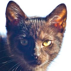 IMG_3447 (BalthasarLeopold) Tags: pet cats pets animal animals closeup cat blackcat mammal kitten feline dof kittens felines blackcats indoorcat dephtoffield
