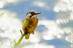 Kingfisher (alcedo atthis) (phat5toe) Tags: nature birds nikon wildlife feathers kingfisher avian wetland wigan flashes alcedoatthis greenheart d7000 sigma150500