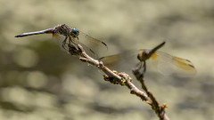 To Each His Own (gimmeocean) Tags: dragonfly dragonflies miltonlakepark rahway colonia newjersey nj