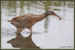 Rail with a Purpose 5821 (maguire33@verizon.net) Tags: california bird us unitedstates wildlife rail wetlands endangered huntingtonbeach bolsachica threatened ridgewaysrail