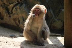 Halo (ellievking1) Tags: nature animals japan monkeys hotspring nagano jigokudani macaques monkeypark yudanaka