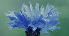 Corn flower 2 after the rain (Kevin 'Sweeney' Todd) Tags: blue flower rain macro