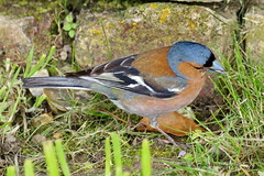 Common chaffinch looking for food (DirkVandeVelde Back) Tags: france bird animal fauna europa europe outdoor aves frankrijk nordpasdecalais oiseau animalia vogel biologie europ fringillidae passeriformes vink chordata commonchaffinch saintvalerysursomme sommebaai vinkachtigen
