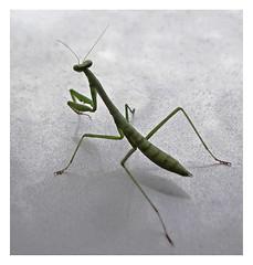 (C. Neil Scott) Tags: prayingmantis preyingmantis westcolumbiasc southcarolina insect mantid