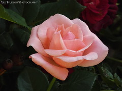 Spring Rose (mtnmojolee) Tags: pink red roses green nature beautiful leaves garden petals spring buds blooms