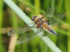 Four spotted chaser dragonfly (David Russell UK) Tags: england nature animal insect four dragonfly outdoor 4 reserve spot spotted cambridgeshire castor chaser haglands