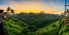 Fields of Gold (Leslie Hui) Tags: bali panorama sunrise ricefield sunray ubud panoromic