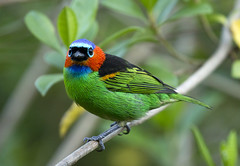 Brazil. (richard.mcmanus.) Tags: brazil serrabonitareserve serrabonita atlanticrainforest rainforest bahia bird tanager redneckedtanager animal mcmanus leonardopatrial gettyimages