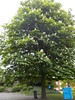 DSCN2071 (Rumskedi) Tags: flore monde europe belgique ndda marronnier ndda14052016