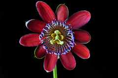 Winged stem passion flower (Passiflora alata) (natureloving) Tags: flower macro nature nikon d90 afsvrmicronikkor105mmf28gifed passifloraalata wingedstempassionflower natureloving flowersinfrance fleursenfrance