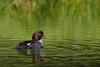 Common Goldeneye (Happy Photographer) Tags: summer nature water duck commongoldeneye amyhudechek