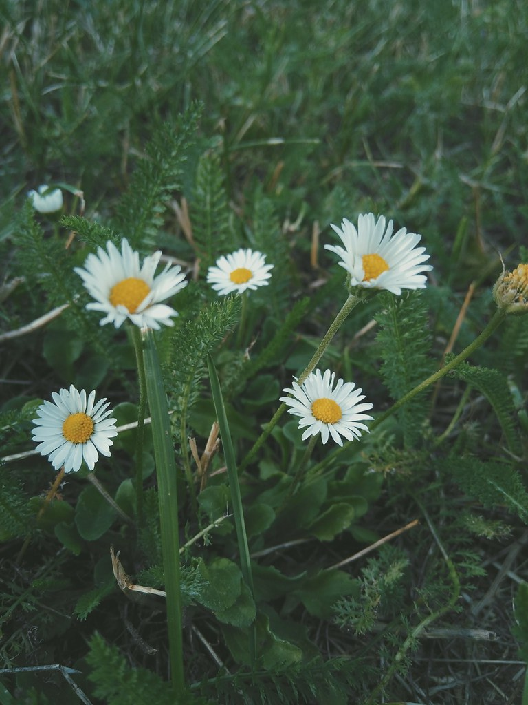 The worlds newest photos of daisies and tumblr flickr hive mind wild gabeviela tags daisy daisies flower nature wildflower wildflowers weed weeds prague czech izmirmasajfo