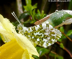 Orange Tip on Daffodil (GemElle Photography) Tags: yellow butterfly drops nikon daffodil coolpix gemelle orangetip gemelle1