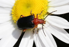 Beetle on Daisy (DrPhotoMoto) Tags: water beetle northcarolina rove longhorn beetles scarab coleoptera cerambycidae richmondcounty lepturinae longhornedbeetles polyphaga chrysomeloidea flowerlonghorns leafandsnoutbeetles longhornedandleafbeetles waterrovescarablonghornleafandsnoutbeetles brachysomida rhagiini brachysomidabivittata