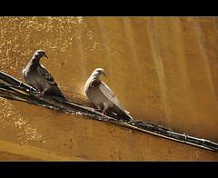 Parella (PCB75) Tags: barcelona born pigeon pigeons capital catalonia cables catalunya ciutat catalogna colom catalogne elborn coloms