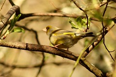 greenfinch (Suzie Noble) Tags: tree bird garden finch greenfinch strathglass struy