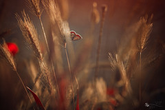 Hiding Queen (ildikoneer) Tags: field grass sunshine backlight butterfly spring wings