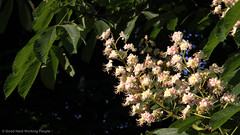 Chestnut tree blooms - Volkspark Friedrichshain (luciwest) Tags: park tree berlin leave nature leaves bloom chestnut blatt blaetter friedrichshain baum prenzlauerberg videostill volksparkfriedrichshain bluete kastanie inaberlinminute