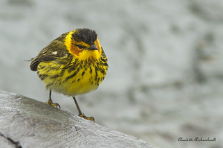 Paruline tigrée, Cape May Warbler
