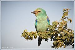 Abyssinian Roller ******Explored (davolly59) Tags: