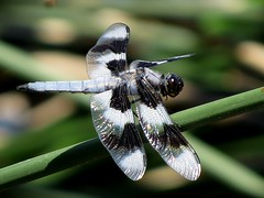 Eight Spotted Skimmer (Swany6) Tags: oregon dragonfly insects whitetailedskimmer eightspottedskimmer specanimals ringexcellence ringofexcellence dblringexcellence photographyforrecreation unlimitedinsectslevel1