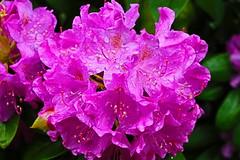 Azalea With Raindrops (johnvfu3) Tags: flower purple raindrops azalea