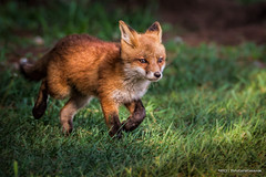 Fox on the Run... (ThruKurtsLens.com (Kurt Wecker)) Tags: wild cute nature fur happy wildlife exploring free running fox kit redfox wildlifephotography thrukurtslenscom