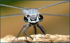 dragonfly -  (moshek70) Tags:   insect nature macro israel insects wildlife      dragonfly