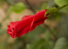 Red Hibiscus (Anna Calvert Photography) Tags: red floral petals stem hibiscus tropical malvaceae botany