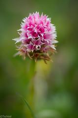 it made my day (Tschissl) Tags: flowers austria sterreich orchids pflanzen blumen location steiermark orchideen teichalm