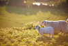 (drfugo) Tags: sunset summer england nature grass sussex sheep bokeh mother valley lamb fields scrub southdowns cuckmere cuckmerehaven cuckmereriver canonef135mmf2lusm canon5dmkii